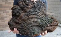 芝人于野收藏的150-200年的特大西藏野生桑树桑黄