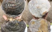 鉴别桑树桑黄与裂蹄层孔菌